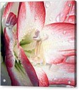 Double Amaryllis Acrylic Print