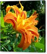Double Blossom Orange Lily Acrylic Print