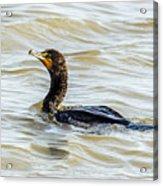 Double-breasted Cormorant Acrylic Print
