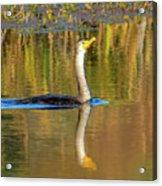 Double-crested Cormorant - 2 Acrylic Print
