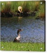 Double-crested Cormorant 3 Acrylic Print