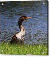 Double-crested Cormorant 5 Acrylic Print