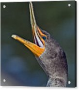 Double-crested Cormorant Acrylic Print