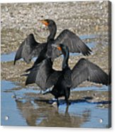 Double Crested Cormorant Pair Acrylic Print