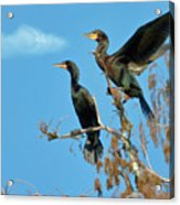 Double-crested Cormorants Acrylic Print