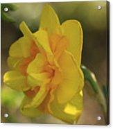 Double Daffodil Acrylic Print