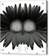 Double Daisy Noir Acrylic Print