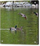 Double Duck Landing Acrylic Print