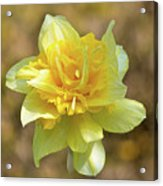 Double Headed Daffodil Acrylic Print