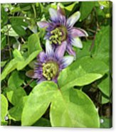 Double Passion Flowers Acrylic Print