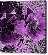 Double Poppies In Purple Acrylic Print