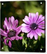 Double Purple African Daisy Acrylic Print