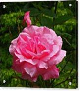 Double Rose Acrylic Print