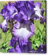 Double Ruffled Purple Iris Acrylic Print