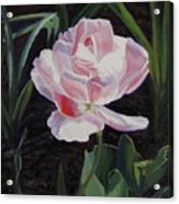 Double Sassy Tulip Acrylic Print