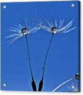 Double Sky Dandelion Acrylic Print