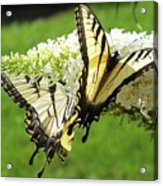 Double The Pleasure - Eastern Tiger Swallowtails Acrylic Print
