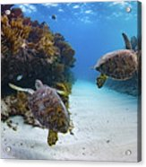 Double Turtles Acrylic Print