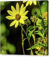 Double Yellow Acrylic Print