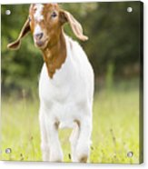 Dougie The Goat Acrylic Print
