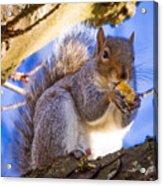 Douglas Squirrel Eating Acrylic Print
