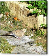 Dove  #9225 Acrylic Print