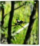 Dove In The Everglades  Acrylic Print