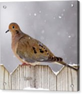 Dove In The Snow Acrylic Print