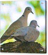 Dove Mates Acrylic Print