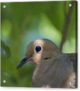Dove Acrylic Print