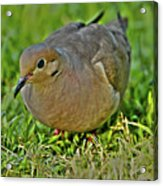 Dove With Hdr Acrylic Print