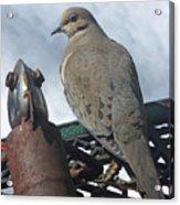 Doves New Pal Acrylic Print