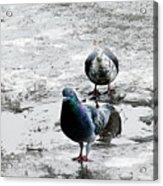 Doves On The Street Acrylic Print