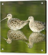 Dowitcher Reflections Acrylic Print