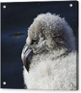 Downy - Baby Flamingo Acrylic Print