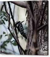 Downy Woodpecker Acrylic Print