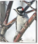 Downy Woodpecker In An Apple Tree Acrylic Print