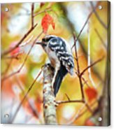 Downy Woodpecker In Autumn Forest Acrylic Print