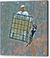 Downy Woodpecker In The Snow Acrylic Print