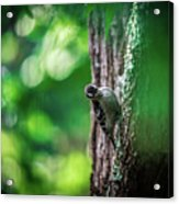 Downy Woodpecker In The Wild Acrylic Print