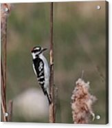 Downy Woodpecker On Cattails Acrylic Print
