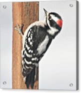 Downy Woodpecker On The Deck Post Acrylic Print