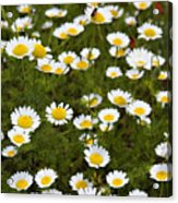 Dozens Of Daisies Acrylic Print