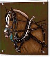 Draft Horse Acrylic Print