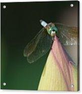 Dragon Fly Lotus Acrylic Print