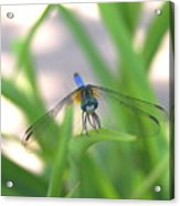Dragon Fly Personality Acrylic Print by Debbie May