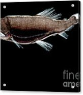 Dragonfish Acrylic Print