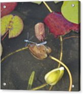 Dragonflies Acrylic Print