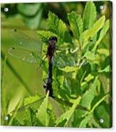 Dragonfly 1 Acrylic Print