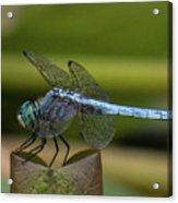 Dragonfly 14 Acrylic Print